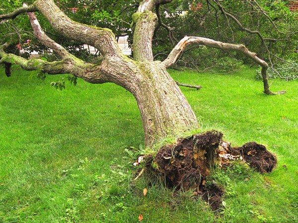 В Константиновке вырубят 155 аварийных деревьев: Адреса