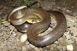 Змеи заполонили Константиновку: Есть ли противоядие от укуса и что делать при встрече со змеей