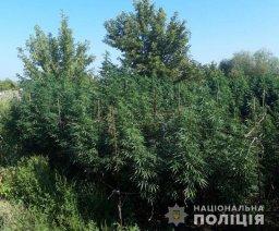 В Константиновском районе ликвидировали плантацию конопли