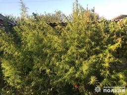 В Константиновке правоохранители изъяли 256 кустов конопли